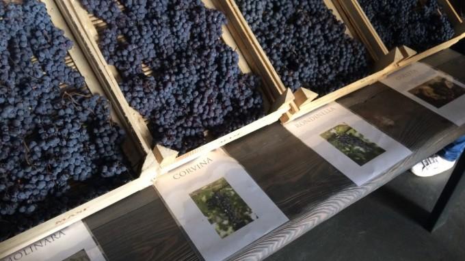Masi e la Riscoperta dell'uva Oseleta