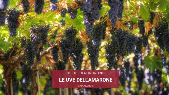 Le Uve dell' Amarone