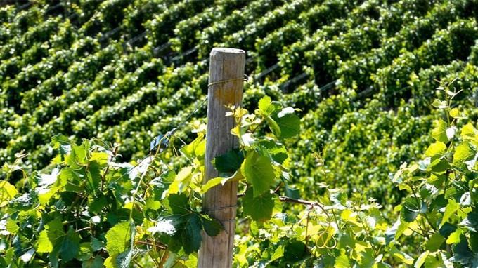 il ciclo vitale delle viti